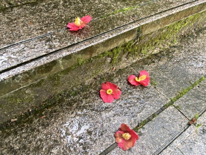 落ちた椿の花