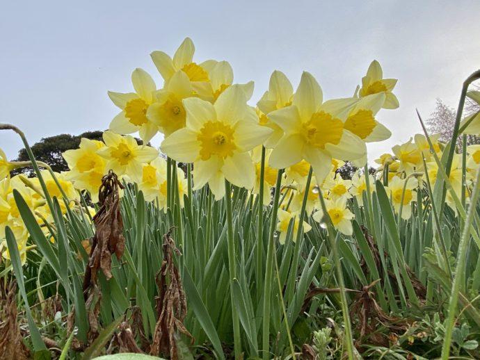 群生する黄色い水仙