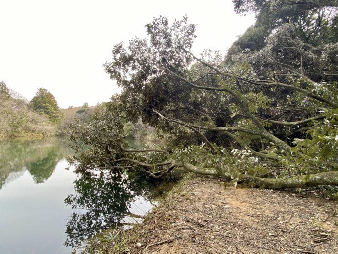 昭和堤の倒木