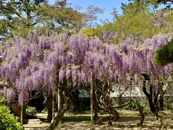 松陰神社の藤棚