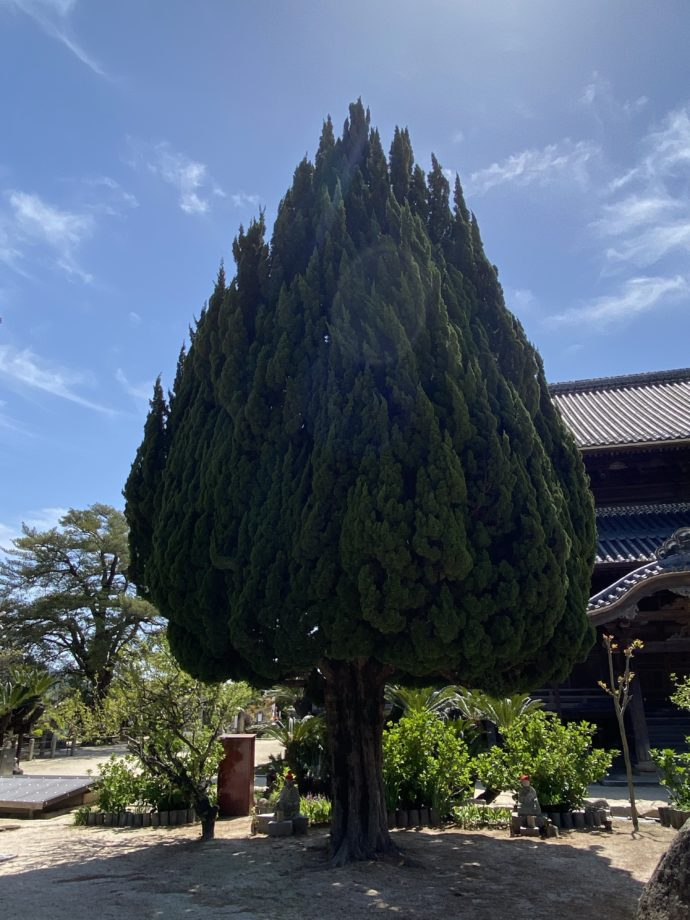 周防国分寺の杉の木