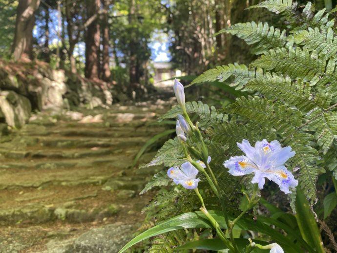 シャガの花の咲く道