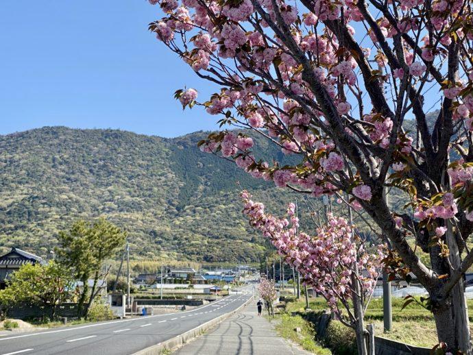 八重桜の咲く道