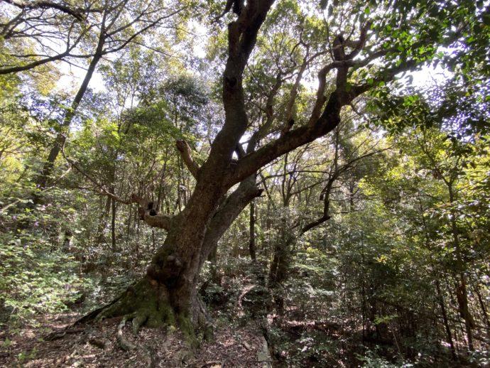 巨樹のヤマモモ
