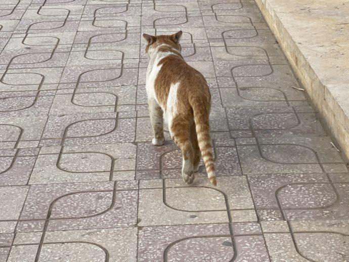 ギザの街を歩く猫