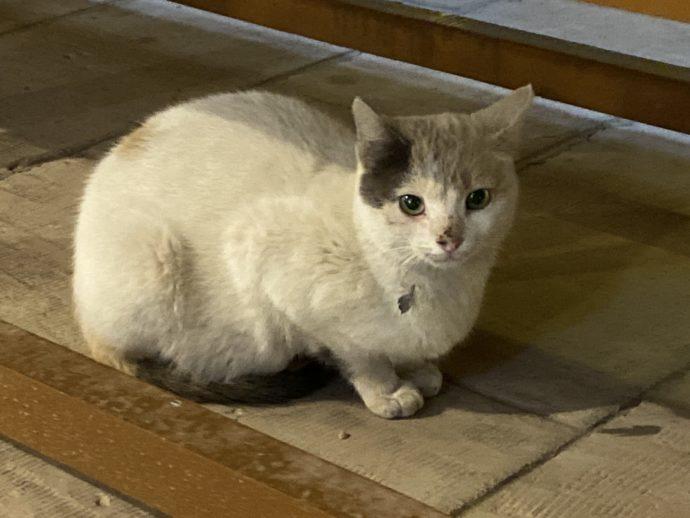 コムオンボにいた白い猫