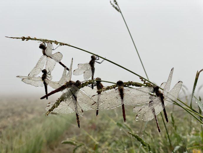 梅雨のついたトンボ