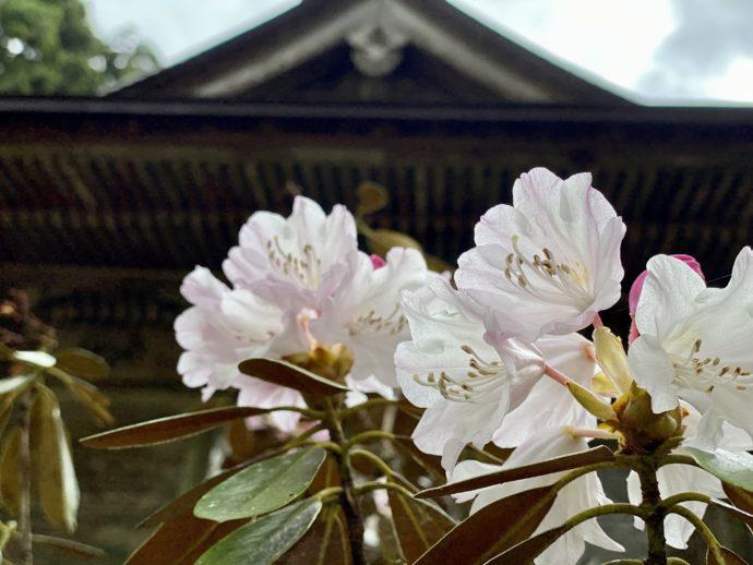 シャクナゲの花と横蔵寺の本堂