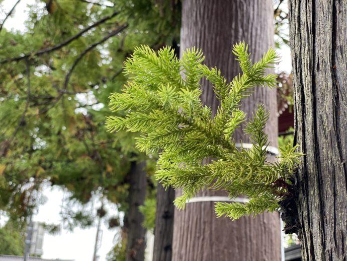 杉から生えた杉